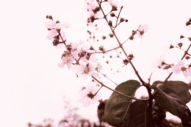 Sakura flor de cerejeira natureza beleza Foto gratuita
