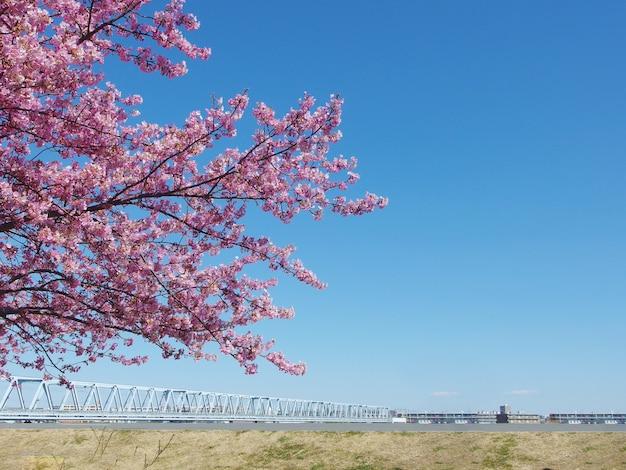 Sakura japonesa, completa florescendo árvore de flores de cerejeira rosa e céu azul na primavera. Foto Premium