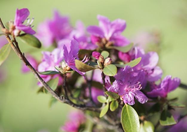 Sakura no jardim primavera. Foto Premium