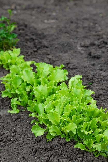 Saladas de alface aparafusadas em uma horta Foto Premium