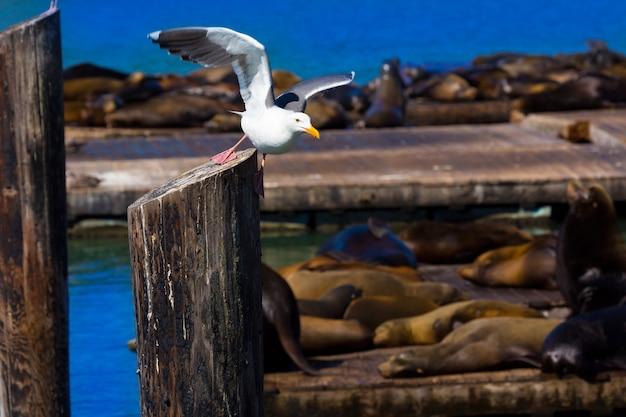 San francisco pier 39 gaivota e focas na califórnia Foto Premium