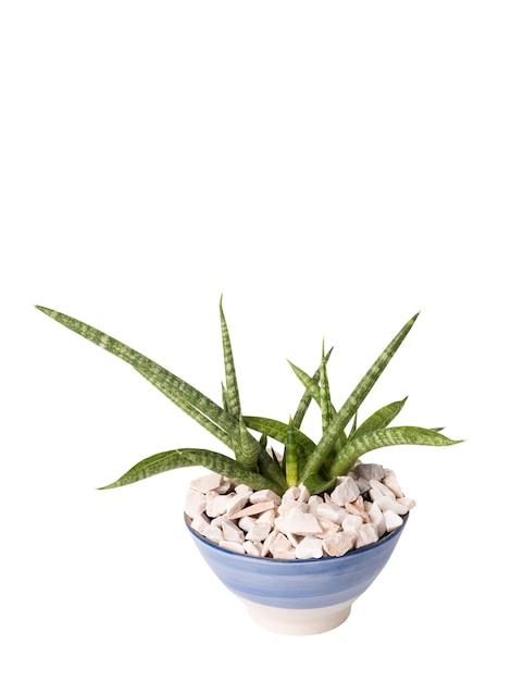Sansevieria fernwood punk - serpente em vaso de cerâmica isolado no branco com trajeto de grampeamento, árvores de plantas de casa absorvem toxinas para purificar o ar Foto Premium