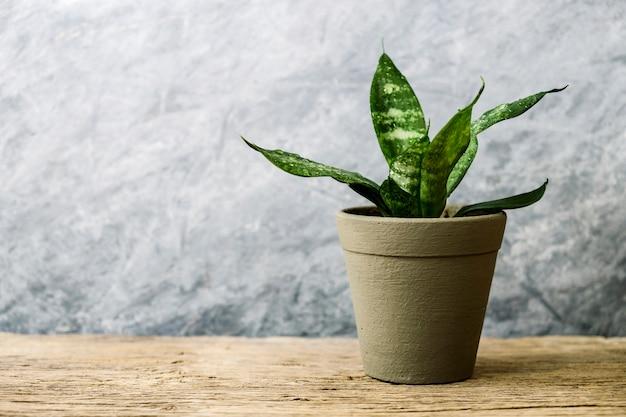 Sansevieria trifasciata ou planta de cobra em pote na velha casa de madeira e conceito de jardim Foto Premium