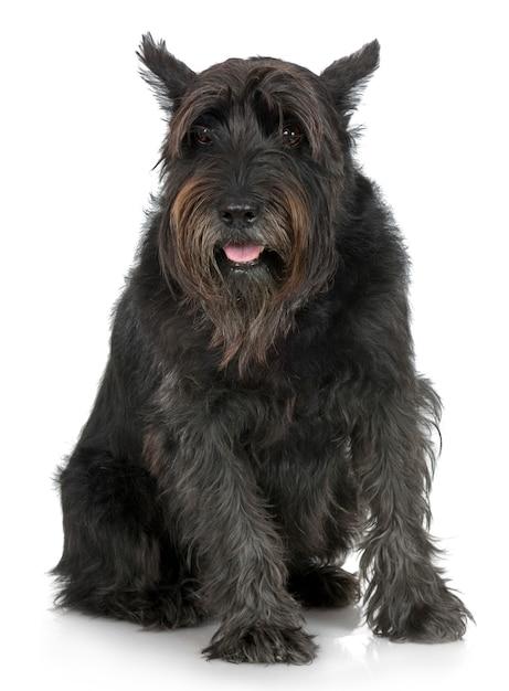 Schnauzer gigante velho com 7 anos. retrato de cachorro isolado Foto Premium