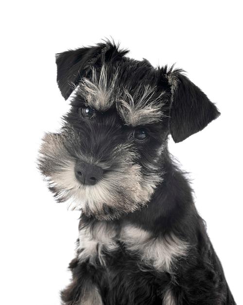 Schnauzer miniatura preto com branco