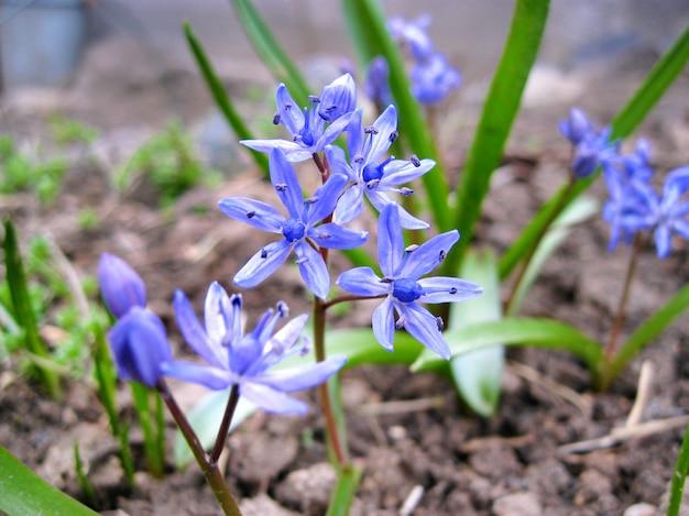 Scilla bifolia (squill alpino ou squill de duas folhas) flor closeup Foto Premium