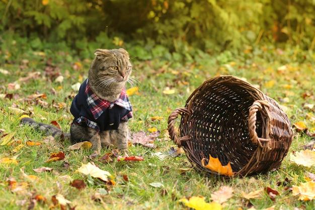 Scottish dobrado em um gramado com folhas de outono. Foto Premium