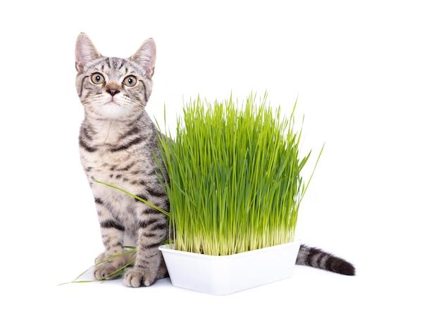 Scottish fold gato comendo capim verde fresco crescendo por sementes de aveia Foto Premium