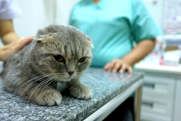 Scottish fold tabby cat veterinário visitante para verificar a saúde Foto Premium
