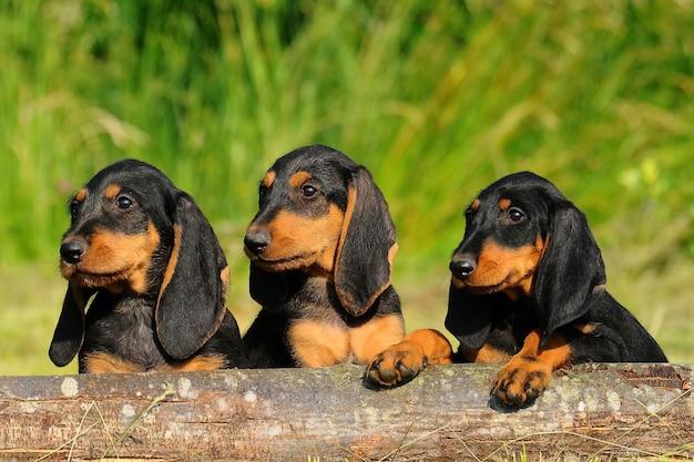 Segugio italiano filhotes cachorro Foto Premium