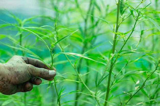 Segurando um agricultor segurando uma folha de cannabis. Foto gratuita