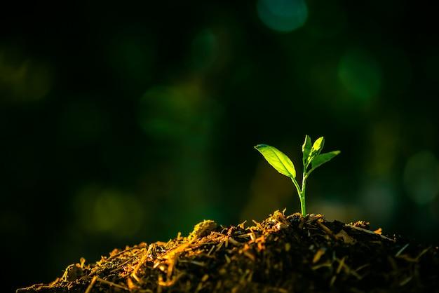 Semeadura estão crescendo no solo com pano de fundo da luz do sol. Foto Premium