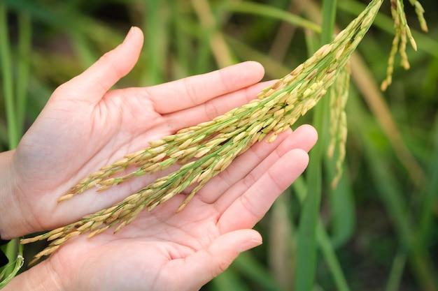 Semente de arroz em casca nas mãos das mulheres, o arroz de jasmim na tailândia Foto Premium