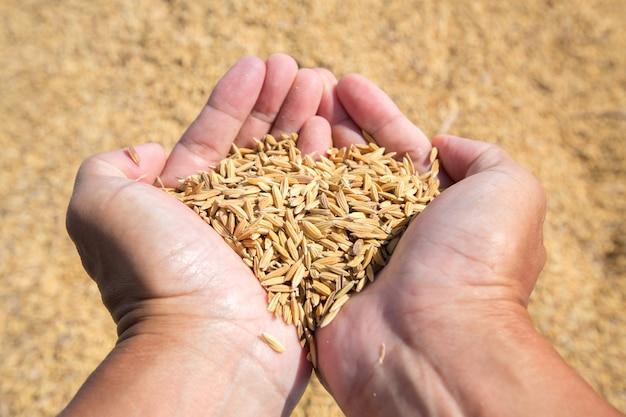 Semente de arroz na mão do agricultor Foto Premium