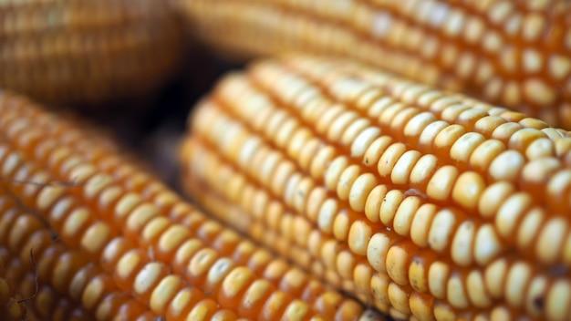 Sementes de milho cru ou grãos de milho são os frutos do milho. grãos de milho maduro. Foto Premium