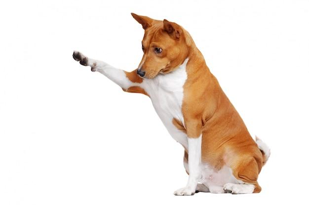 Sentado em um cachorro basenji branco, apontando para a área de cópia de espaço com a pata Foto Premium