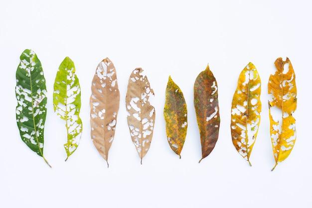 Seque as folhas com os furos, comidos por pragas no branco. Foto Premium