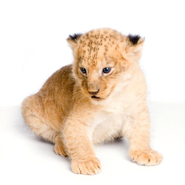 Sessão de lion cub (3 semanas) isolada. Foto Premium