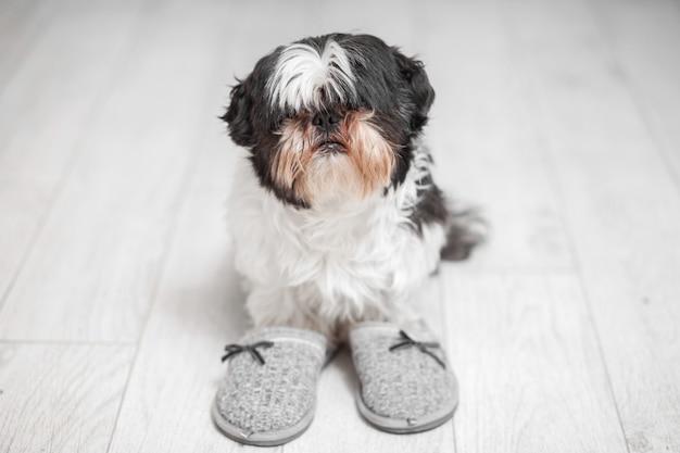 Shaggy cachorro da raça shih tzu, em pé perto de chinelos de casa. Foto Premium