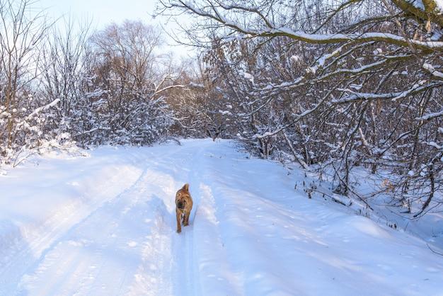 Shar pei cachorro, atravessar a floresta de inverno. Foto Premium