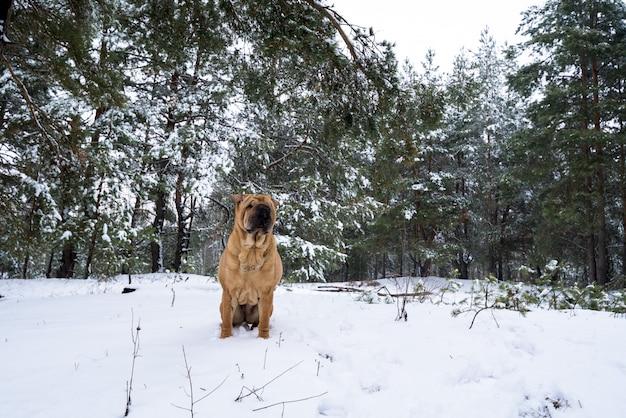 Shar pei na natureza. na colina fica Foto Premium