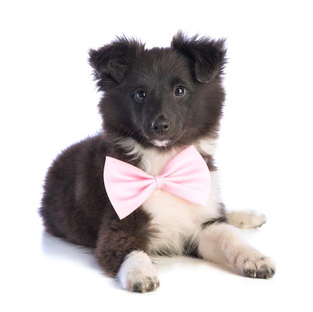 Sheepdog de shetland com laço rosa Foto Premium