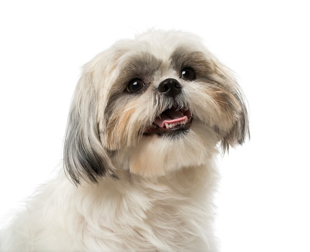 Preço do Shih-Tzu - Veja também dicas de como cuidar corretamente deste cão