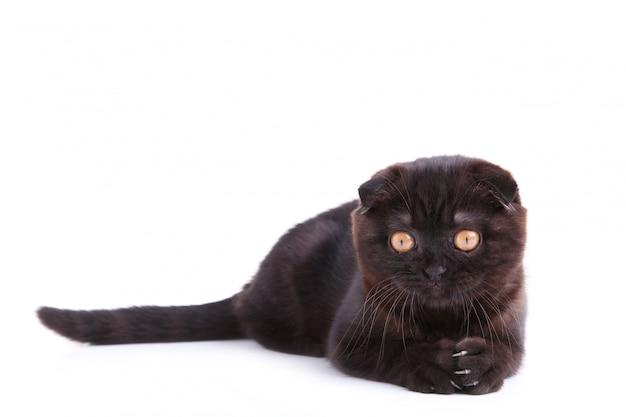 Shorthair britânico de gato preto com olhos amarelos em um branco Foto Premium