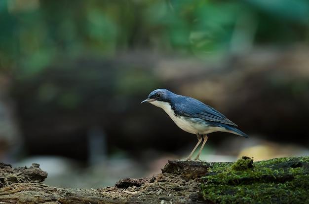 Siberian, azul, robin, (luscinia, cyane), a, bonito, azul, pássaro, ficar, ligado, a, mossy, registro Foto Premium