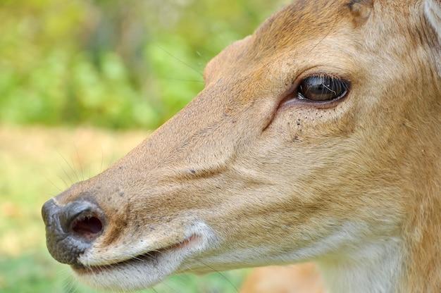 Sika deer Foto Premium