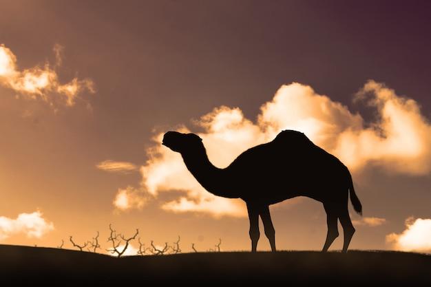 Silueta, de, camelo ambulante, ligado, a, dunas areia Foto Premium