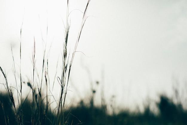 Silueta, de, capim Foto gratuita
