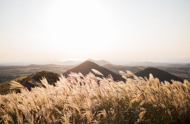 Sinensis de prata bonita da grama ou do miscanthus de uma ilha de jeju no outono de coreia. Foto Premium