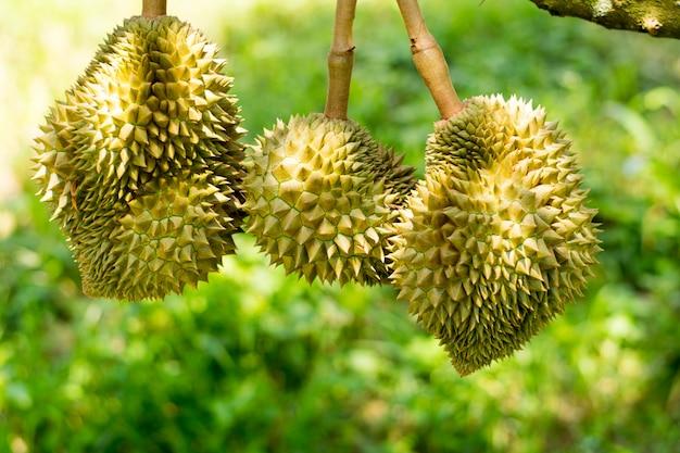 Sisaket fresco do durian do vulcão tailândia na árvore Foto Premium