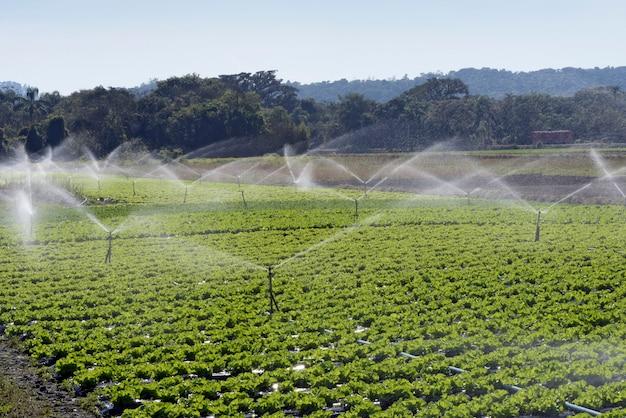 Sistema de irrigação em ação no plantio de hortaliças Foto Premium