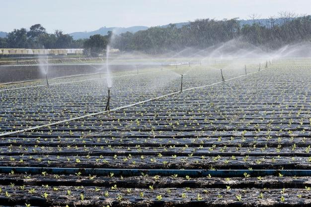 Sistema de irrigação, em contraluz, em plantio de vegetais Foto Premium