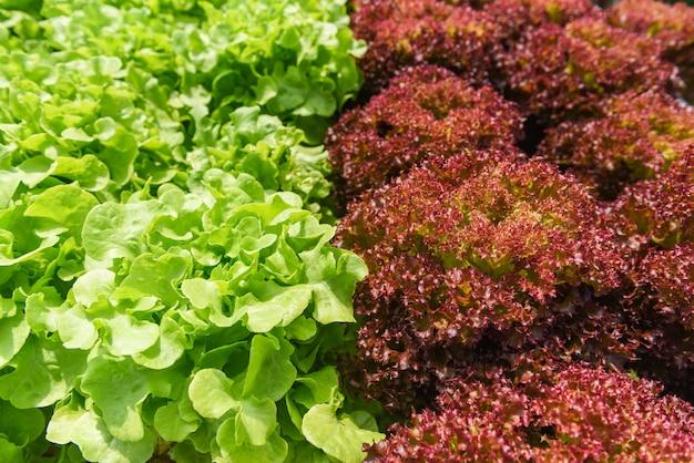 Sistema hidropônico vegetal, carvalho verde jovem e fresco e salada de alface de coral vermelho vermelho que cresce plantas de salada de fazenda hidropônica de jardim na água sem agricultura de solo na estufa orgânica para curar Foto Premium