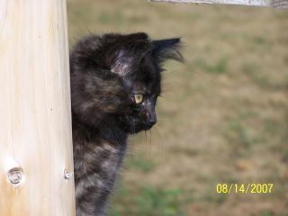 Smokey, felino Foto gratuita
