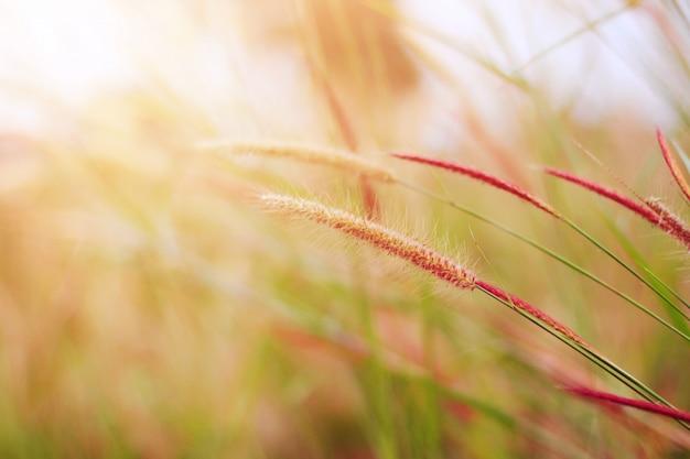 Soft focus flores bonitas da grama na luz solar natural Foto Premium