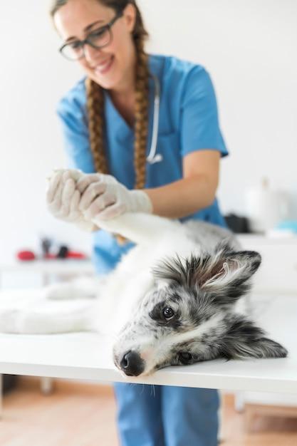 Sorrindo, femininas, veterinário, examinando, pata cão, mentindo, ligado, tabela, em, clínica Foto gratuita