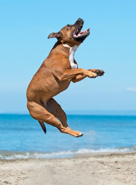 Staffie na praia Foto Premium