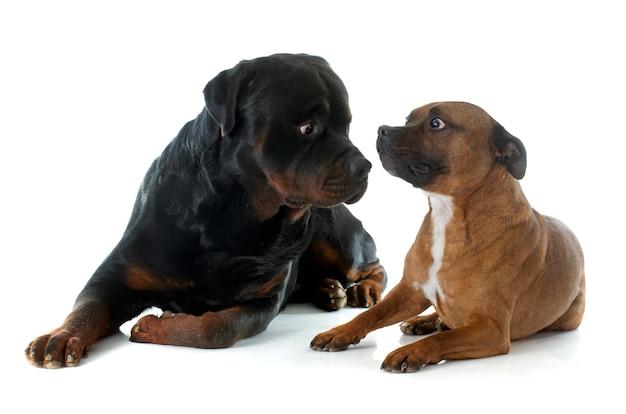 Staffordshire bull terrier e rottweiler Foto Premium