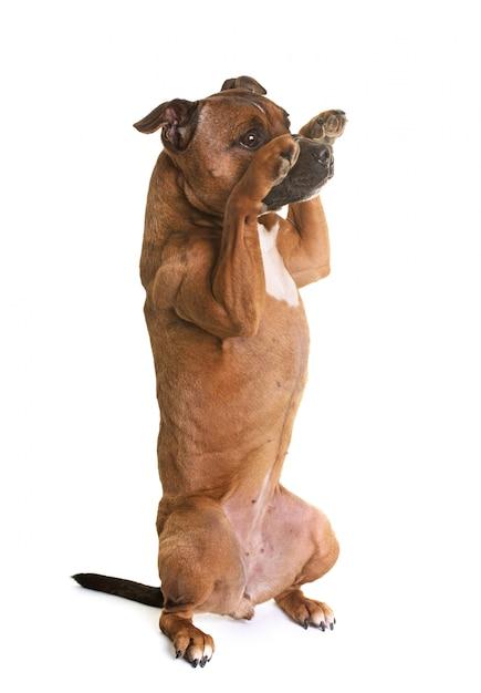 Staffordshire bull terrier Foto Premium