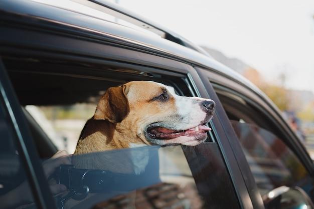 Staffordshire terrier olha pela janela do carro em um dia ensolarado. o conceito de transportar ou viajar com animais de estimação no carro ou deixar um cachorro sozinho em um veículo Foto Premium