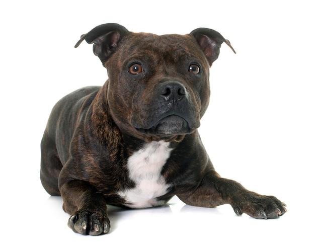 Stafforshire bull terrier Foto Premium