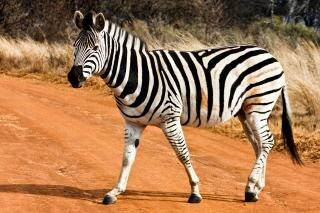 Strutting zebra reserva ao ar livre Foto gratuita