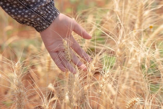 Suave e desfocar fundo bokeh mulher mão tocar ouvidos de trigo no campo Foto Premium