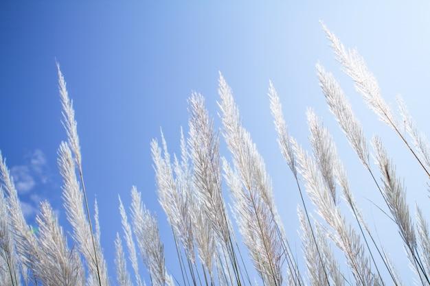 Suavidade branca pena grama com céu azul Foto Premium