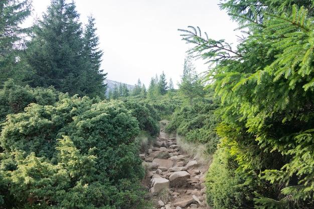 Suba para hoverla. trilha de montanha no bosque de coníferas. Foto Premium