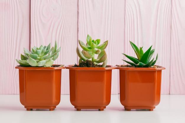 Suculentas verdes na parede de madeira rosa. Foto Premium